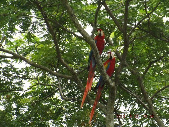 Club Del Cielo: Macaws seen from Balcony
