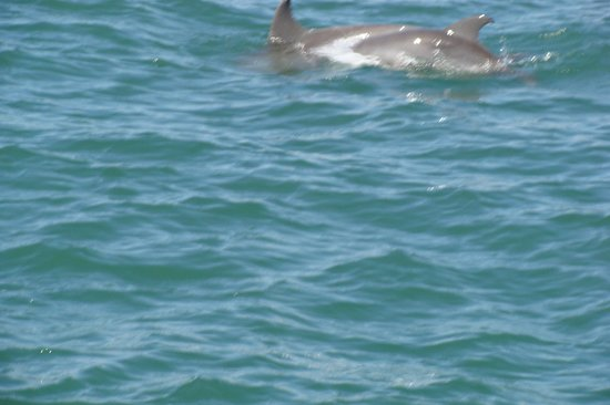 Canaveral Ocean Racer: Hard to capture but here's a dolphin