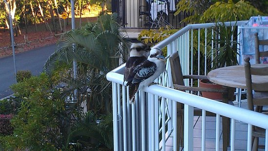 The Beach Place: kookaburra on next balcony