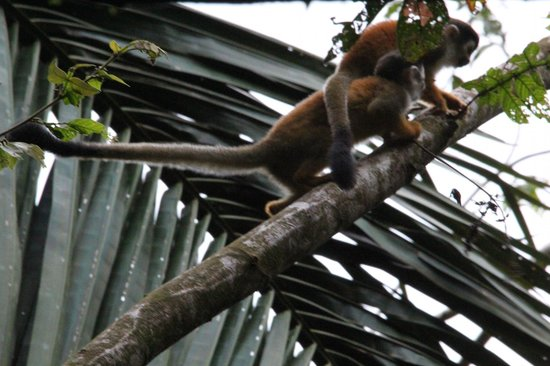 Lookout Inn Lodge: Squirrel monkeys