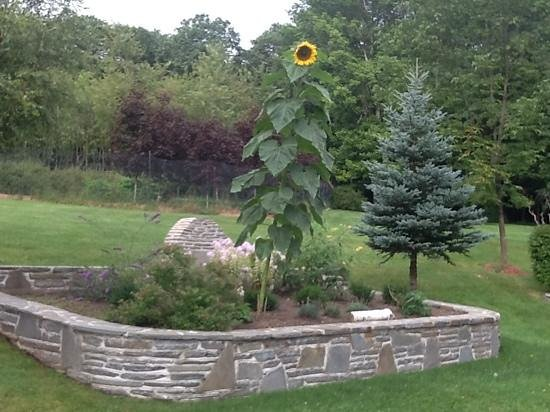 Lazy Pond Bed & Breakfast/Hotel/Inn: sunflower at the Lazy Pond.