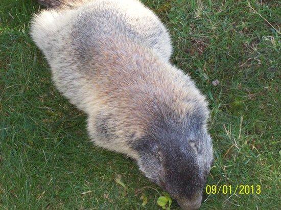 Parc Animalier d'Introd: marmotta