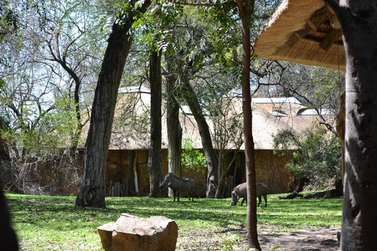 Dulini Lodge : Wart hogs checking out camp