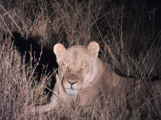 Nehimba Lodge: lioness we spotted!