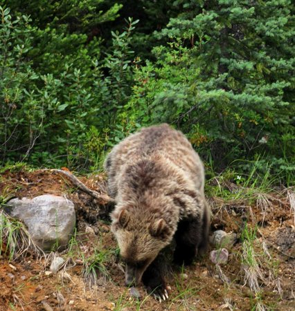 Paradise Lodge & Bungalows: Grubbing Grizzly