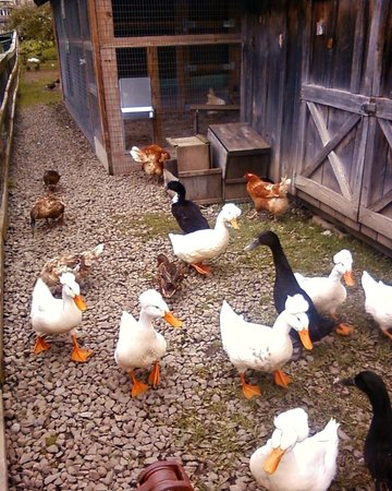 Fly Creek Cider Mill & Orchard: Geese, chickens and ducks
