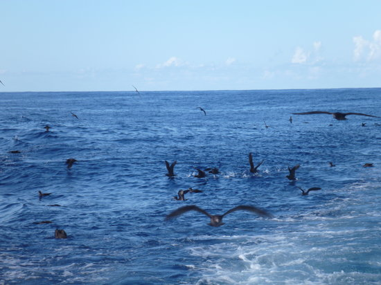 Marine Adventures - Carina Deep Sea Fishing Charters : shearwaters follow closely and enjoy scraps