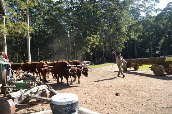 Timbertown Wauchope: Bullock team