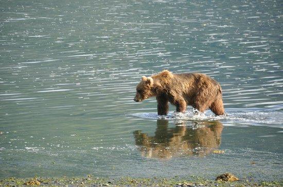 Zachar Bay Lodge : Bear
