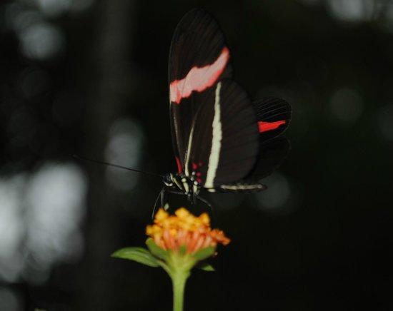 Pachira Lodge: Beautiful Butterfly in the Pachira Grounds