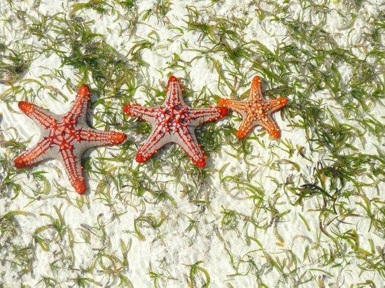 Matemwe Lodge, Asilia Africa : Starfish on reef