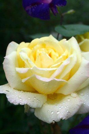 Roseledge Country Inn and Farm Shop: Roses in the rain