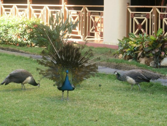 Sirenis Punta Cana Resort Casino & Aquagames: Peacocks roaming freely