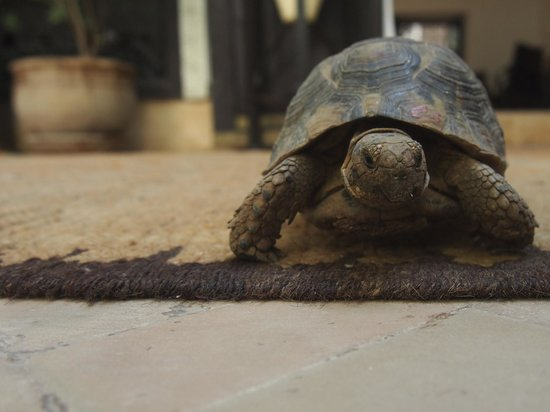 Riad Karmela : resident tortoise