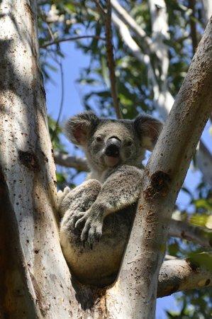 Myra's Place: Koala