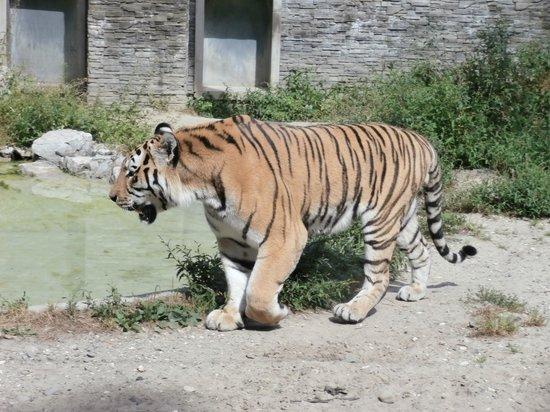 Krakow Zoo (Ogrod Zoologiczny) : Beautiful Tiger