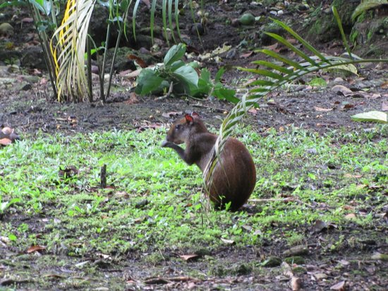 Atlantida Lodge: agouti