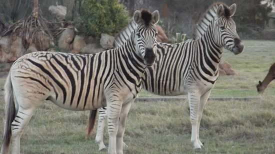 Kuils River, Sydafrika: Zebra's in the Game Camp