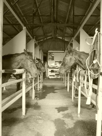 Cape Tribulation Horse Rides: The stables