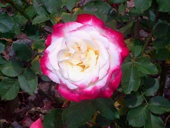 Vergelegen Estate: Roses in the rose garden