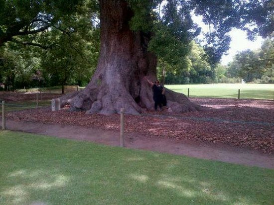 Vergelegen Estate: One of the trees that are more than 300 years old