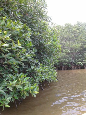 Chidambaram, India: Pitchavaram Mangrove thickets