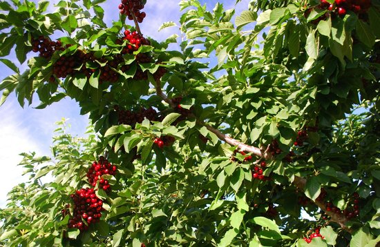 Apple Country Bed and Breakfast: Cherries among the Apple Orchards