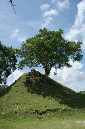 Jaguar Adventures Tours & Travel: Allspice Tree
