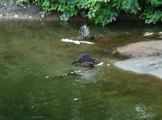 Stowe Motel & Snowdrift: Ride the free hotel bikes on the trail.  We saw these beavers