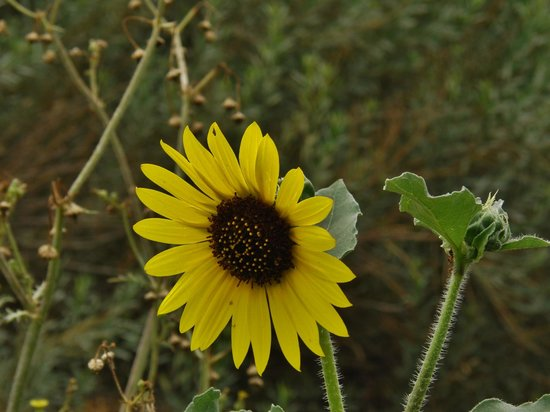 I-20 Wildlife Preserve: Sunflower
