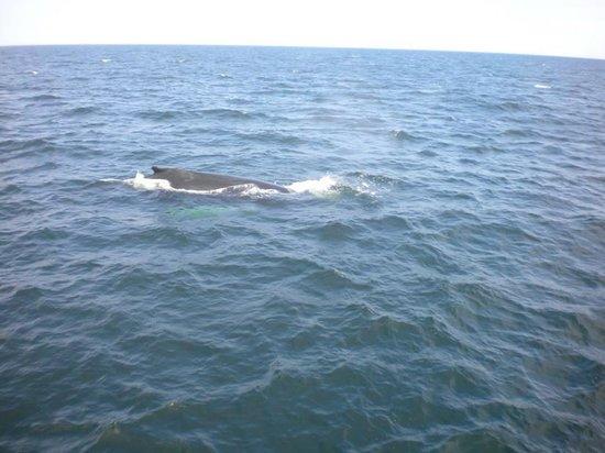 New England Aquarium Whale Watch: Mogul the humpback whale