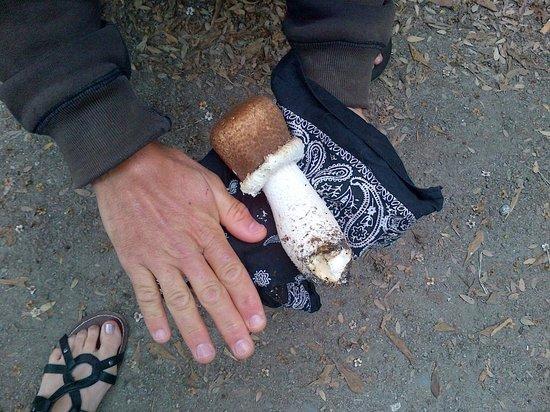 พื้นที่สันทนาการแห่งชาติโกลเดนเกท: large mushrooms found in SF GG Park around Dutch Windmill area