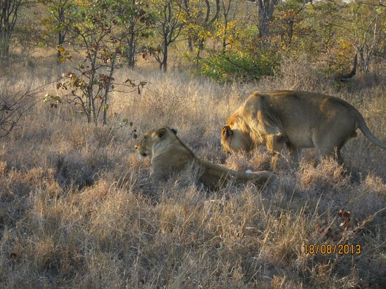 Shindzela Tented Camp: More Lions relaxing