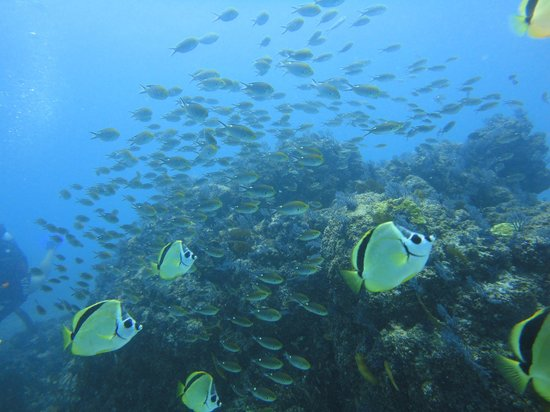 Silent World Divers: butterfly and damsel fish