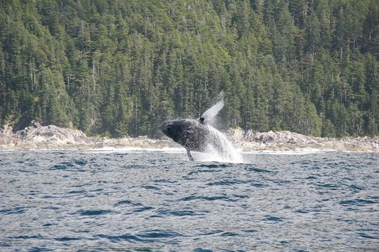 IslandView Resort and Charters: Humpback whale breaching.
