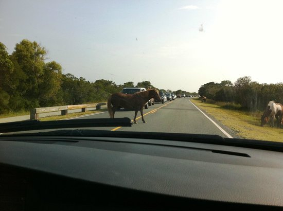 Assateague Island, VA: Horses everywhere