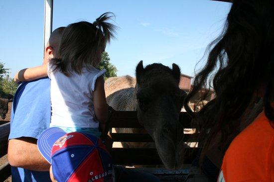 Wagon Trails Animal Park: Camel Craze