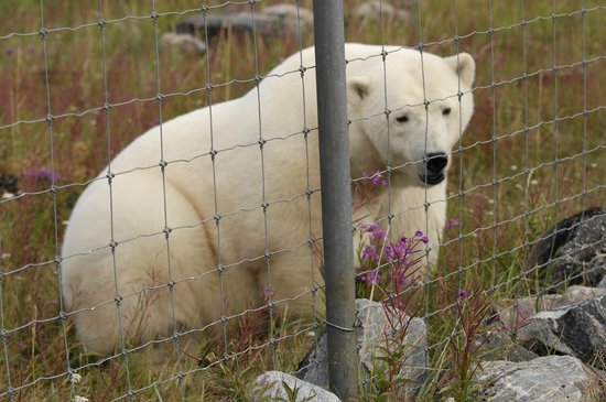 Seal River Heritage Lodge: This is how close the Polar Bears came to the Lodge