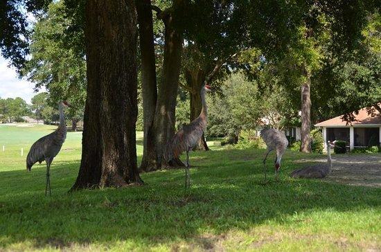 Harbor Hills Country Club Sandhill Cranes Enjoying The Shade