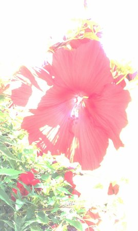 Hotel Rodney: Huge Hibiscus near buy