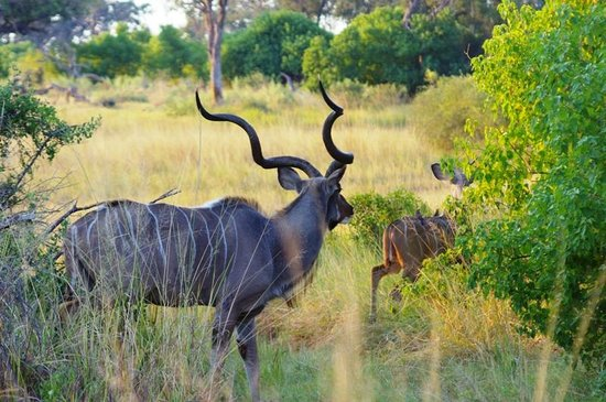 Pom Pom Camp: Kudus in the reserve