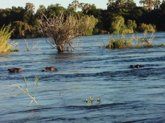 Zimbabue: Hippos