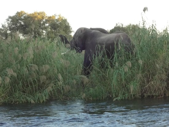 Zambezi River: An elephant in the grass