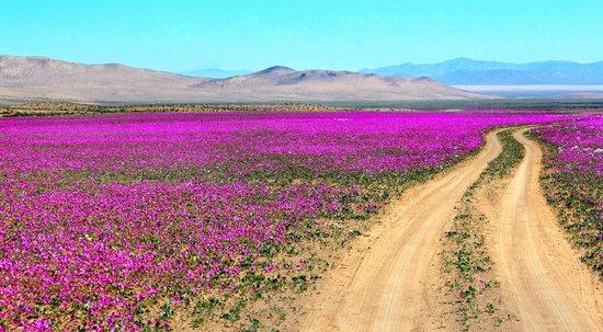 Atacama-Wüste: Desierto florido, naturaleza virginal, despues no haber ninguna vida, renace en plenitud y belle