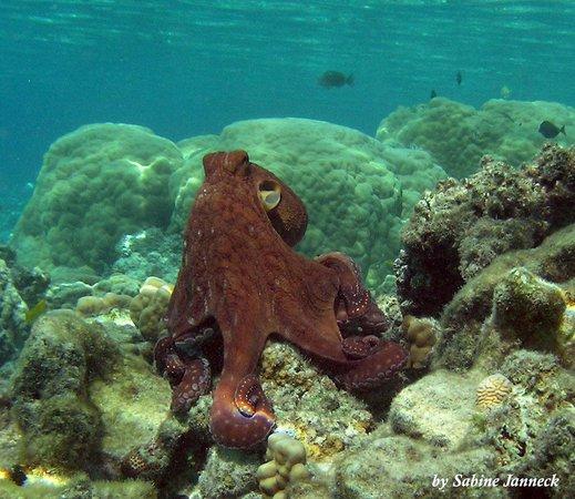 Aroa Marine Reserve: common octopus