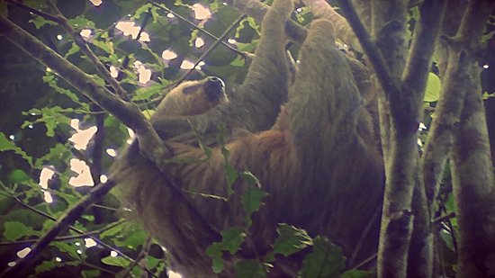 El Remanso Lodge: The two toed sloth discovered by Gerardo on our Bird Watching Expedition