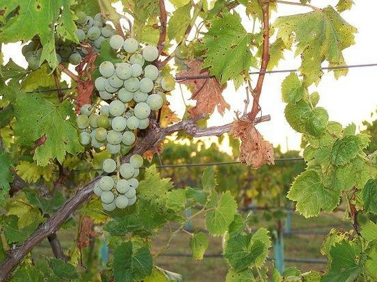 Wakefield Country Inn & Vineyards : Grapes