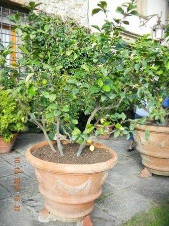 Castello di Verrazzano: fruit tree