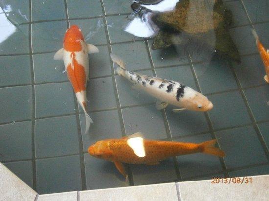 Best Western De Anza Inn: Koi fish in the lobby