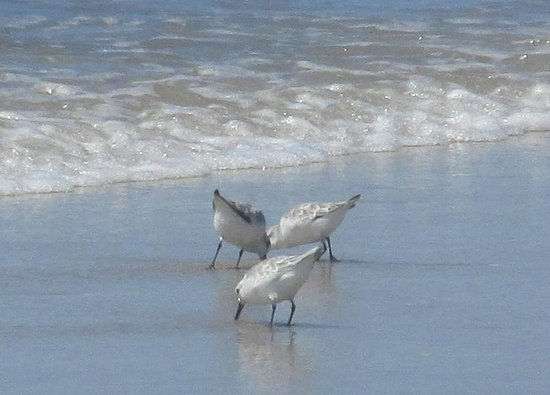 Silver Strand State Beach: Snowy plovers feeding